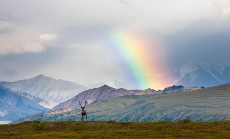 Caribou Rainbow