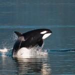 Alaska whales watching