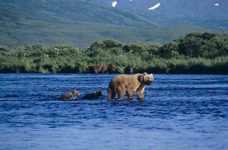 A Brown Bear leads her cubs through the shallows in Kodiak National Wildlife Refuge